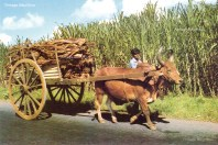 Ox Cart Carrying Dried Wood - Mauritius - 1970s