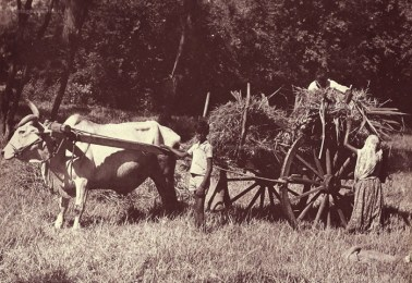 Ox Cart Carrying Wood and Grass - Mauritius - Courtesy: France Athow
