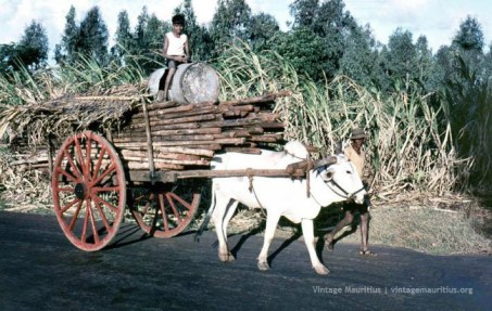 Ox-Cart carrying Sugar Cane during the Harvest season
