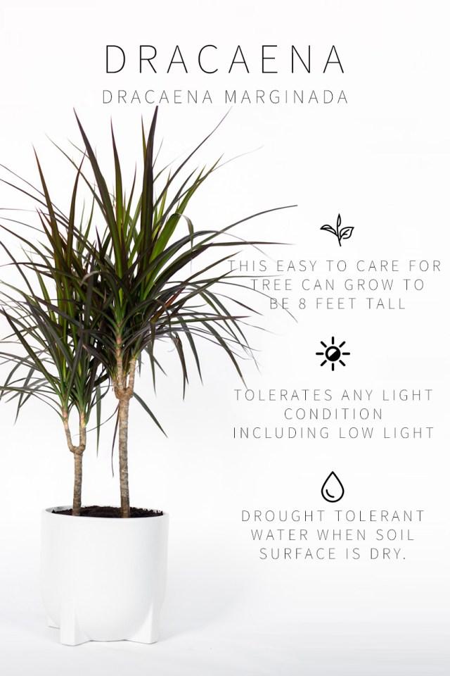 Low Light Indoor Plants- Dracaena