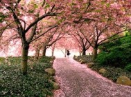 Cherry_Blossom(5)