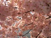 IMG_2383_-_Washington_DC_-_Tidal_Basin_-_Cherry_Blossoms