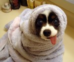 2624248-puppy-with-hanging-tongue-in-a-towel-big