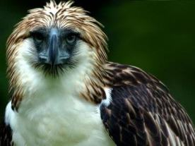 the-philippine-eagle
