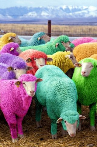 multisheep