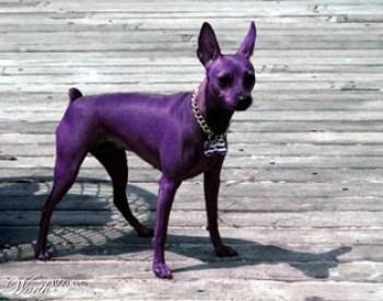 purple_dog2