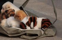tiger-dogs_1554840i