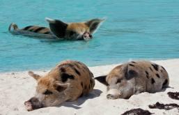 pig-beach-2