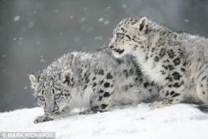 snow-cats-wild-animals-4249745-468-313