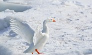 greater-snow-goose-284211_960_720