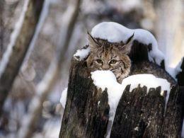 snow-bobcat