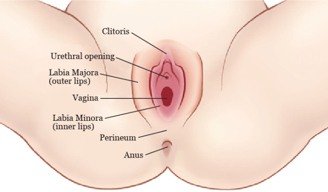a diagram of the vulva (caucasian), with parts labelled