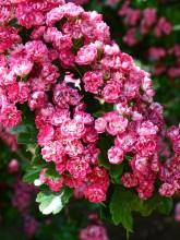 kwitnący migdałek