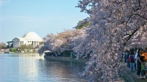 DC - Kirschblüten und Jefferson Memorial_credit Destination DC