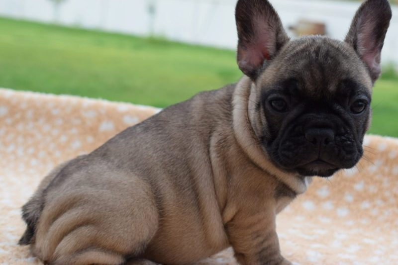 Dark Breeder Puppies All Day Lola French Bulldog Adopt