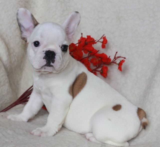 french bulldog male puppy for sale in stamford, connecticut