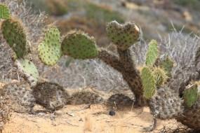 I love Cabrilo cactus