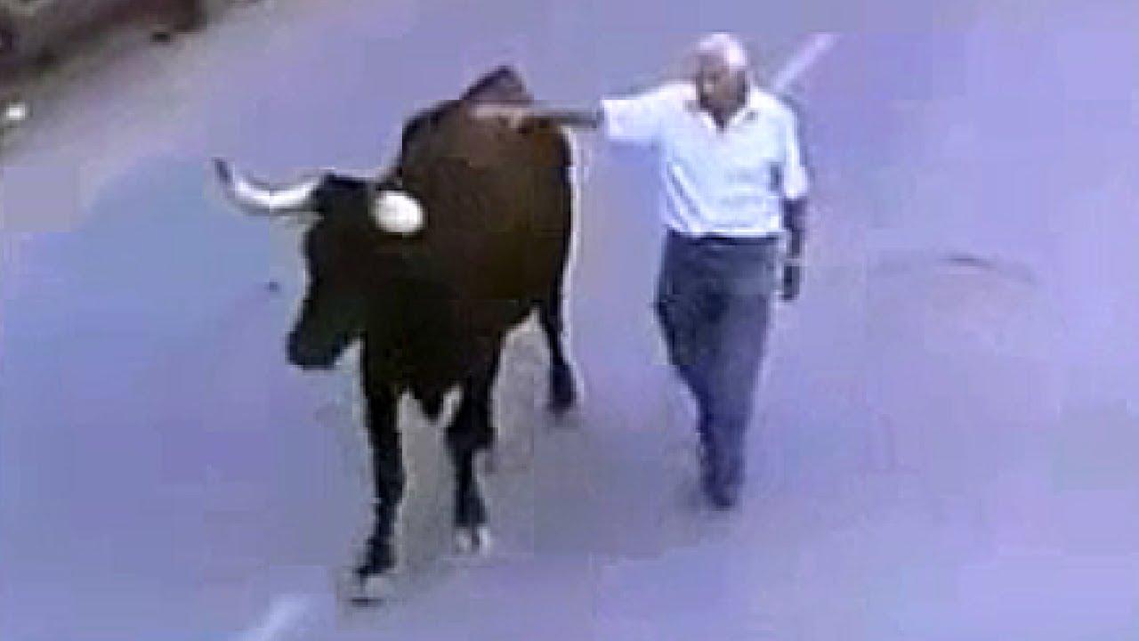 Utroligt! Løs tyr genkender den mand, som fodrer den.