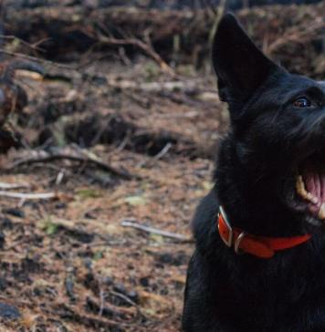 A photo of a furious black dog with teeth out