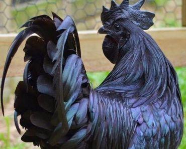 Look: A Black Chicken Lays Black Eggs!