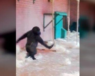 Adorable Ballerina Gorilla: Must Watch