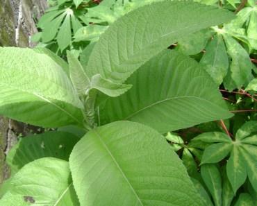 Sambong Leaf
