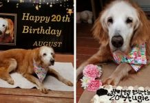This Cute Golden Retriever Becomes The First Golden Retriever To Reach The Age Of 20 Augie the oldest known golden retriever Tennessee Dog