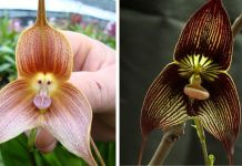 These Dracula Orchids Look Like Cute And Sometimes Angry Monkey Faces
