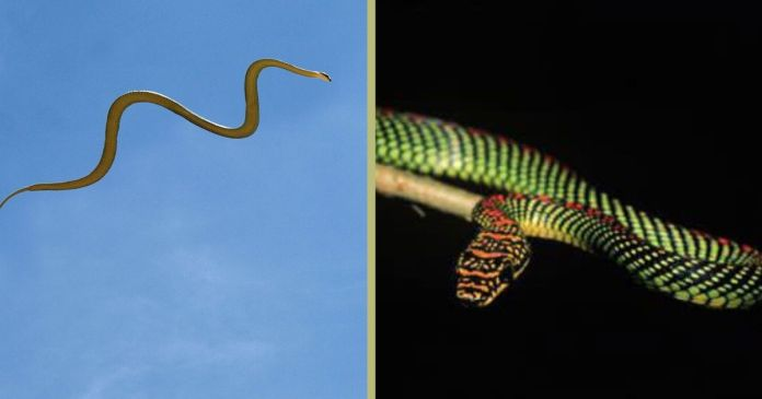 Flying snakes? Here's how they can glide through the air