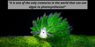 Sea Slug Eats So Much Algae It Can Photosynthesize