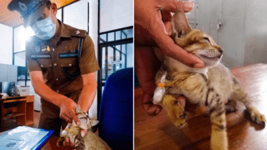Cat detained for smuggling drugs and SIM cards escapes from prison