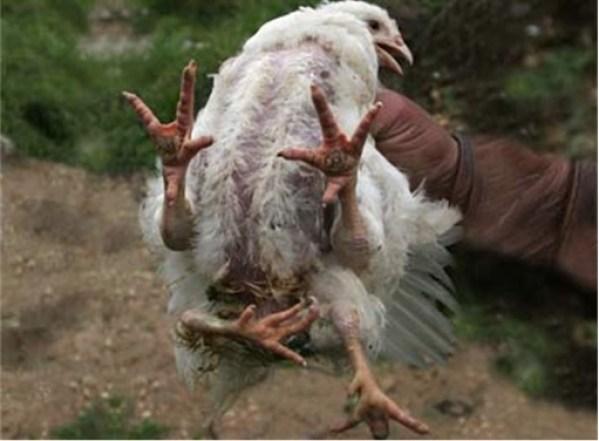 chickens5