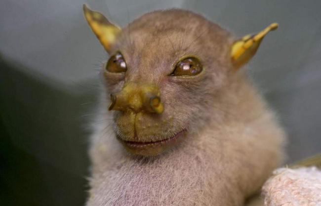 خفاش الفواكه