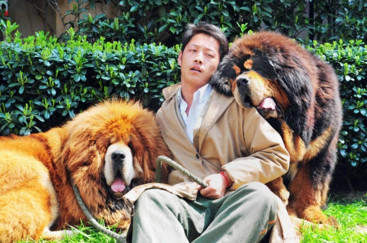 Tibetan mastiffs, 'werelds duurste hond