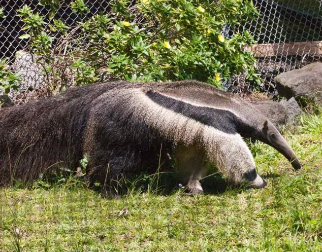panda poot van miereneter
