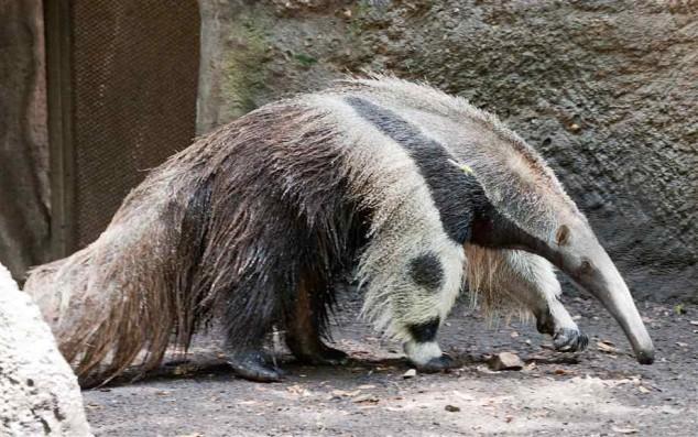 Reuzenmiereneter met poor die op panda lijkt