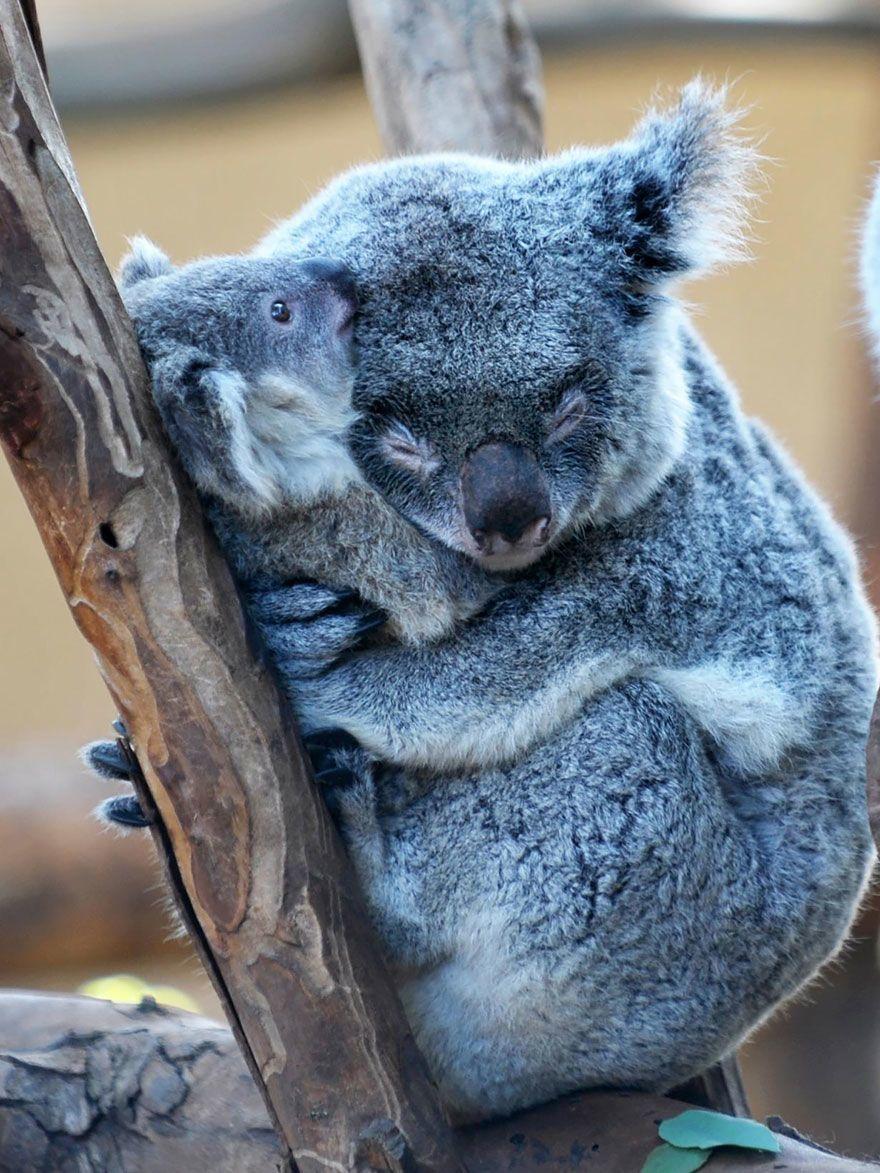 Koala familie