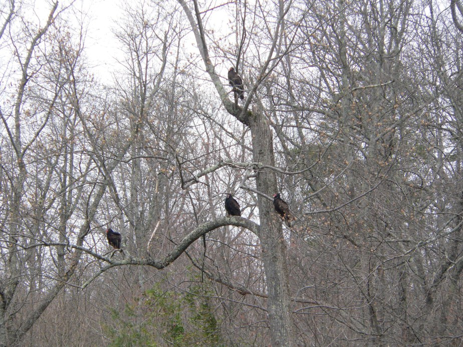 Vultures in a tree....