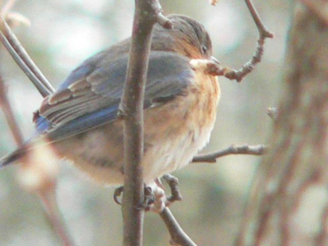 Eastern Blue Bird