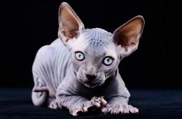 cat shaver