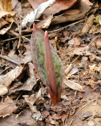 Trout Lily emerging from the ground in March