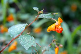 Jewelweed: water beads on the leaves and glistens like jewels
