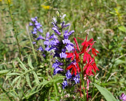 Blue lobelia and red cardinal flower growing together in mid-September