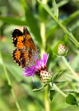 A Silvery Checkerspot visiting spotted knapweed