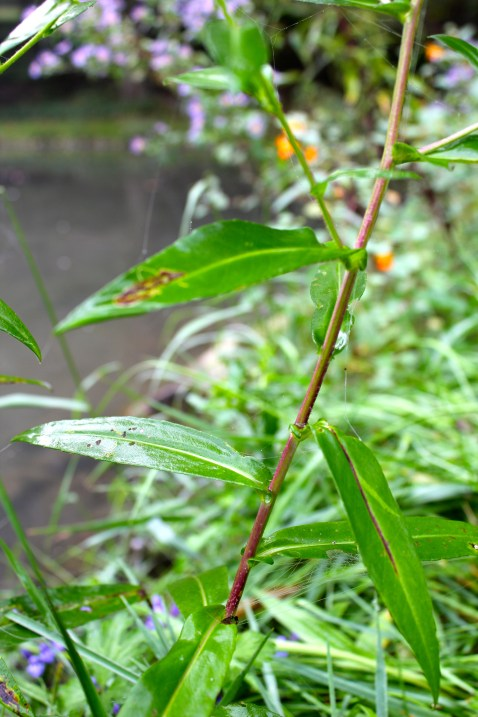 leaves are alternate, lanceolate, clasping