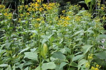 A stand of Crownbeard growing near Pandapas Pond