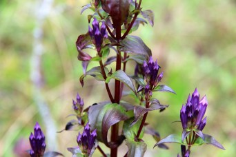 Stiff Gentian growing
