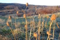 Jimsonweed still standing in a winter field in Blacksburg