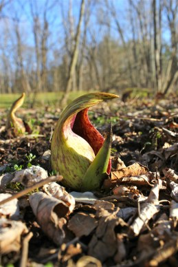 skunk cabbage flower