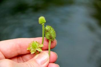 Thimble-like fruits of Anemone Virginiana